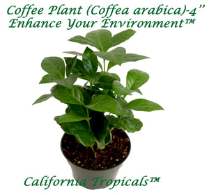 Arabica Coffee Plant - 4'' from California Tropicals
