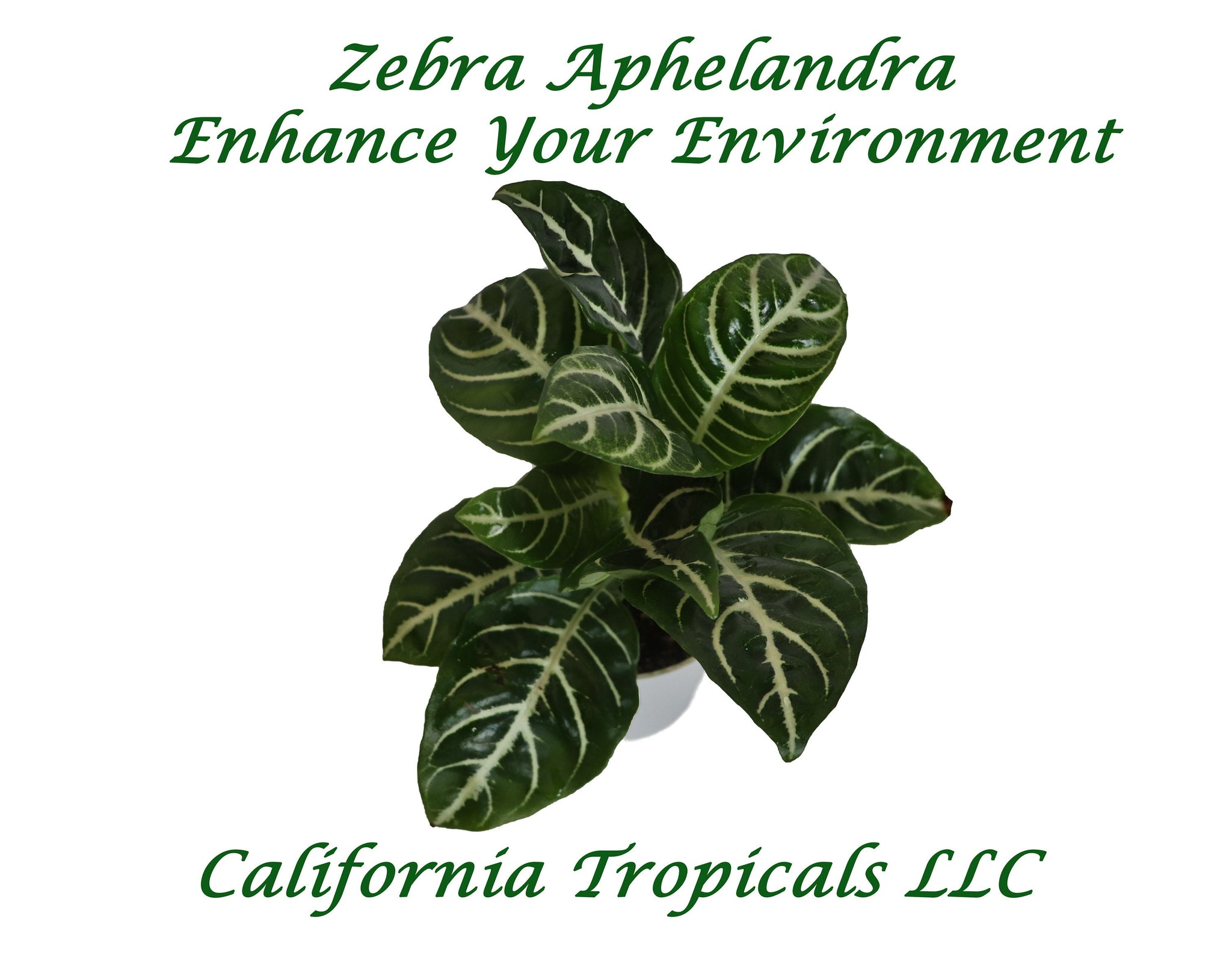 Aphelandra Zebra Plant- 4'' from California Tropicals