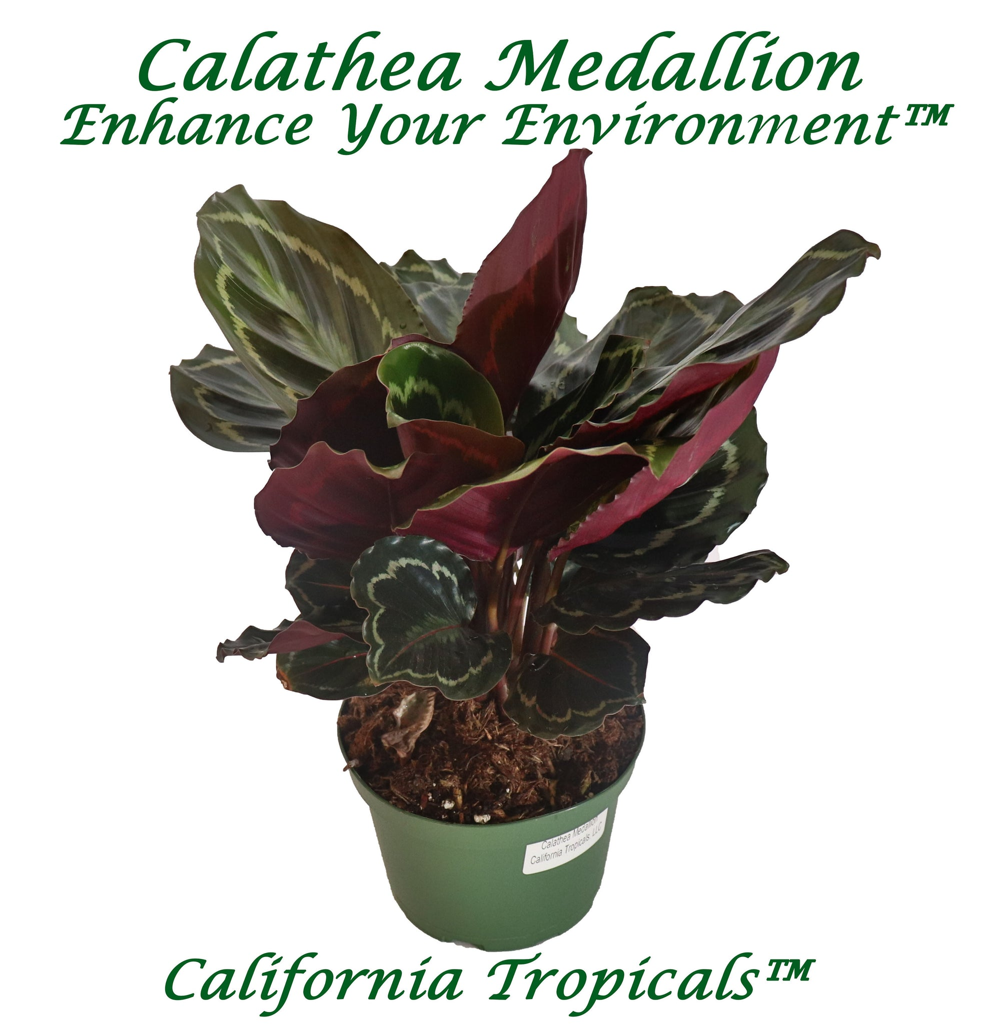 "Calathea Medallion - 6"" from California Tropicals"