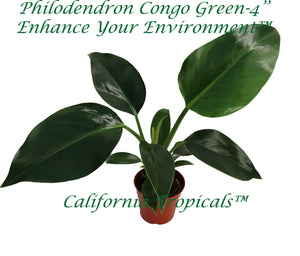Philodendron Congo Green - 4'' from California Tropicals
