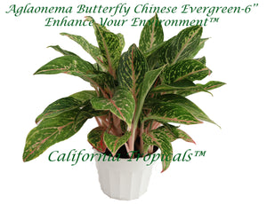 Aglaonema Butterfly Chinese Evergreen - 6'' from California Tropicals