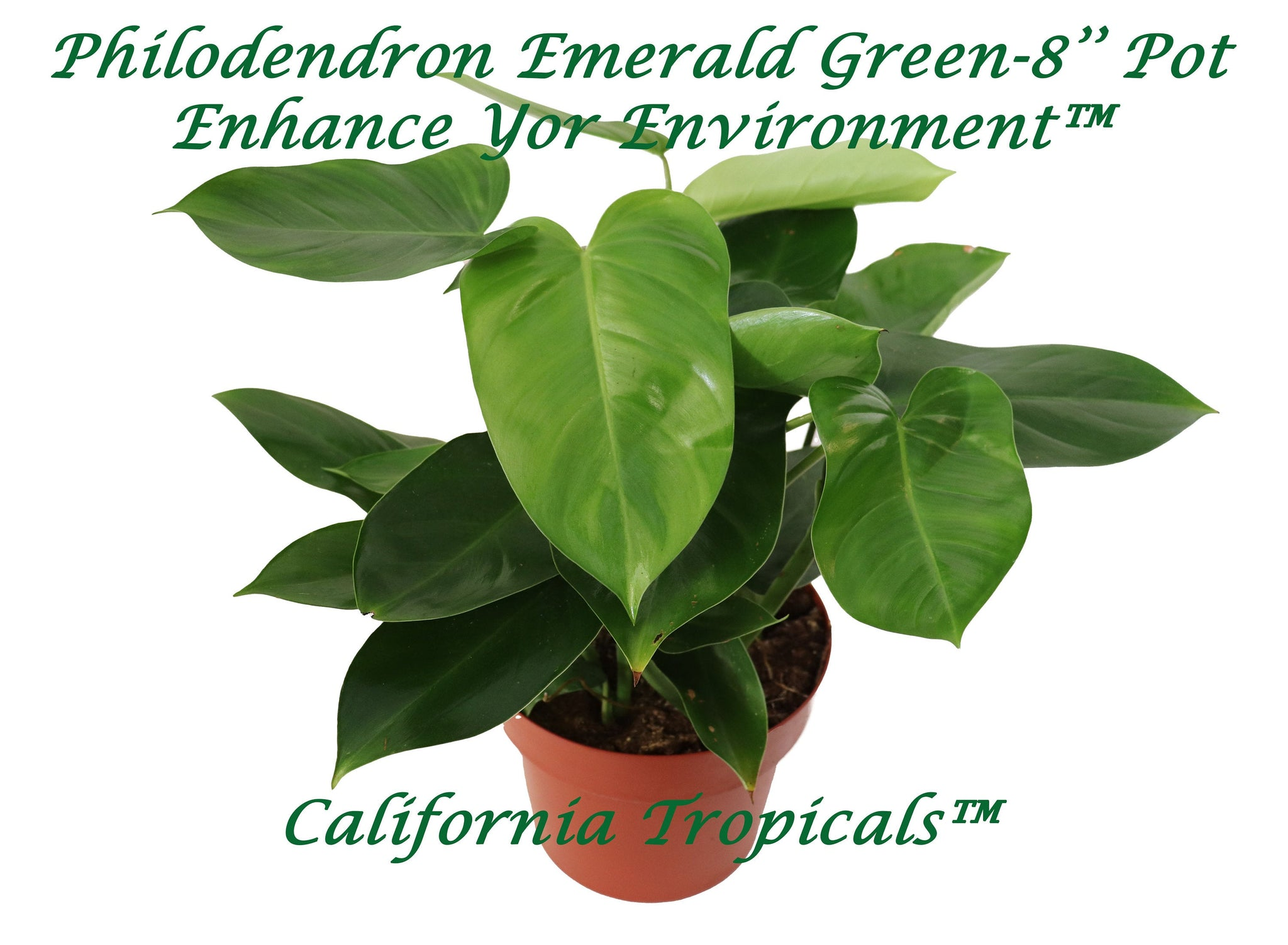 Philodendron Emerald Green - 8'' from California Tropicals