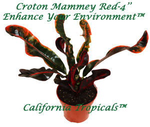 Croton Mammey Red - 4'' from California Tropicals