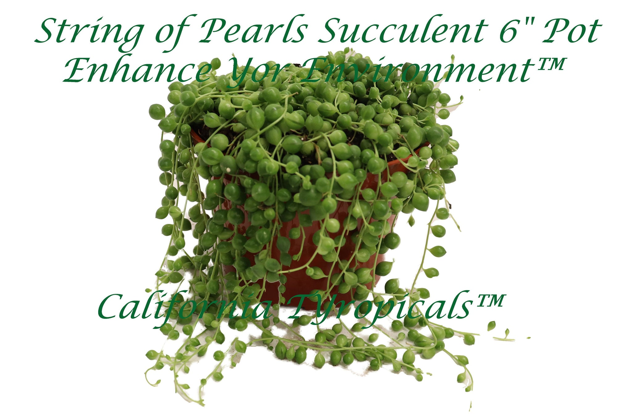 String of Pearls-Succulent Seneccio Rowleyanus - 6'' California tropicals