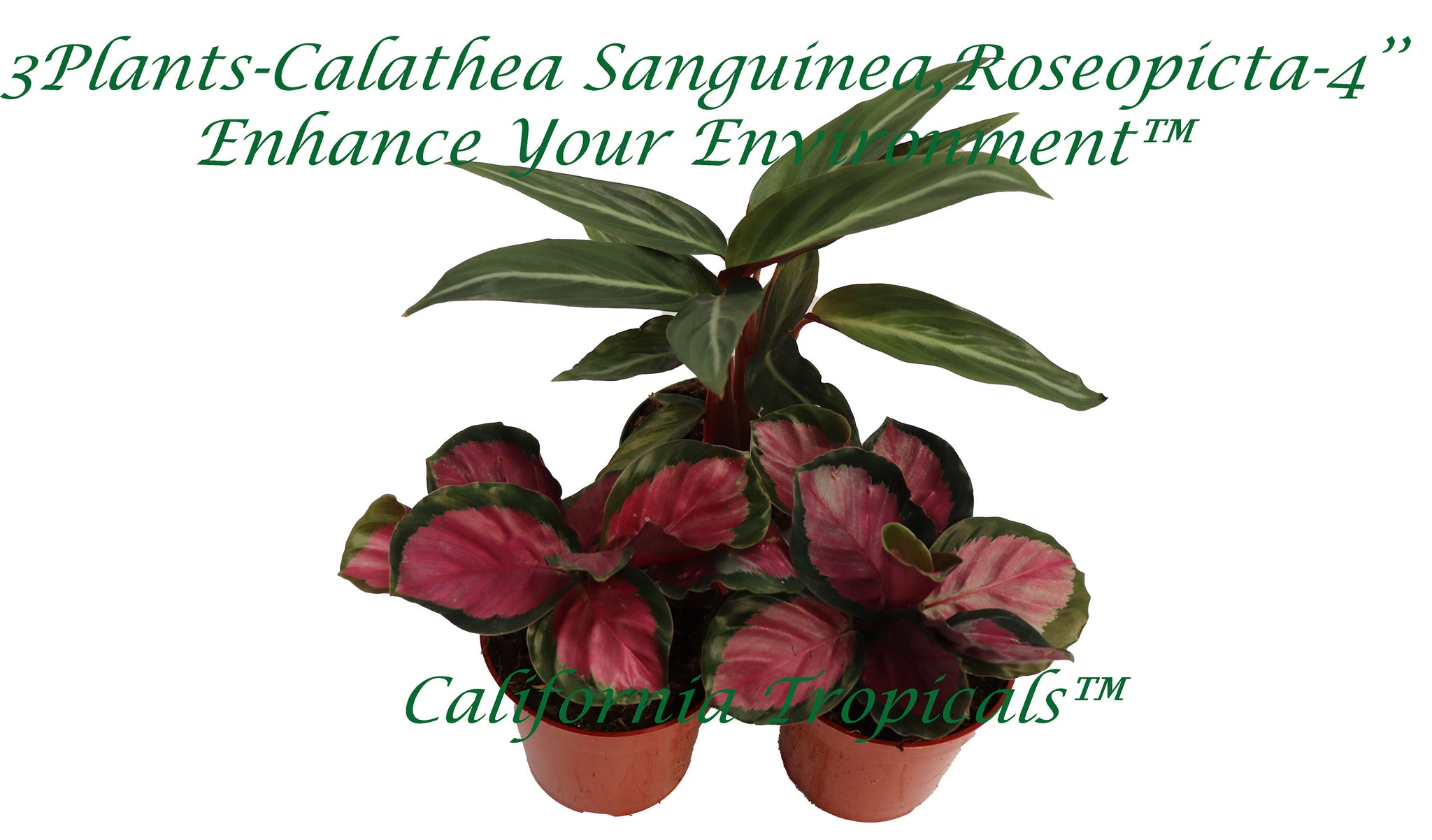 "3-Plants (1 Calathea Sanguinea, 2 Roseopicta) - 4"" from California Tropicals"