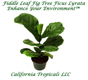 Fiddle Leaf Fig - 6'' from California Tropicals