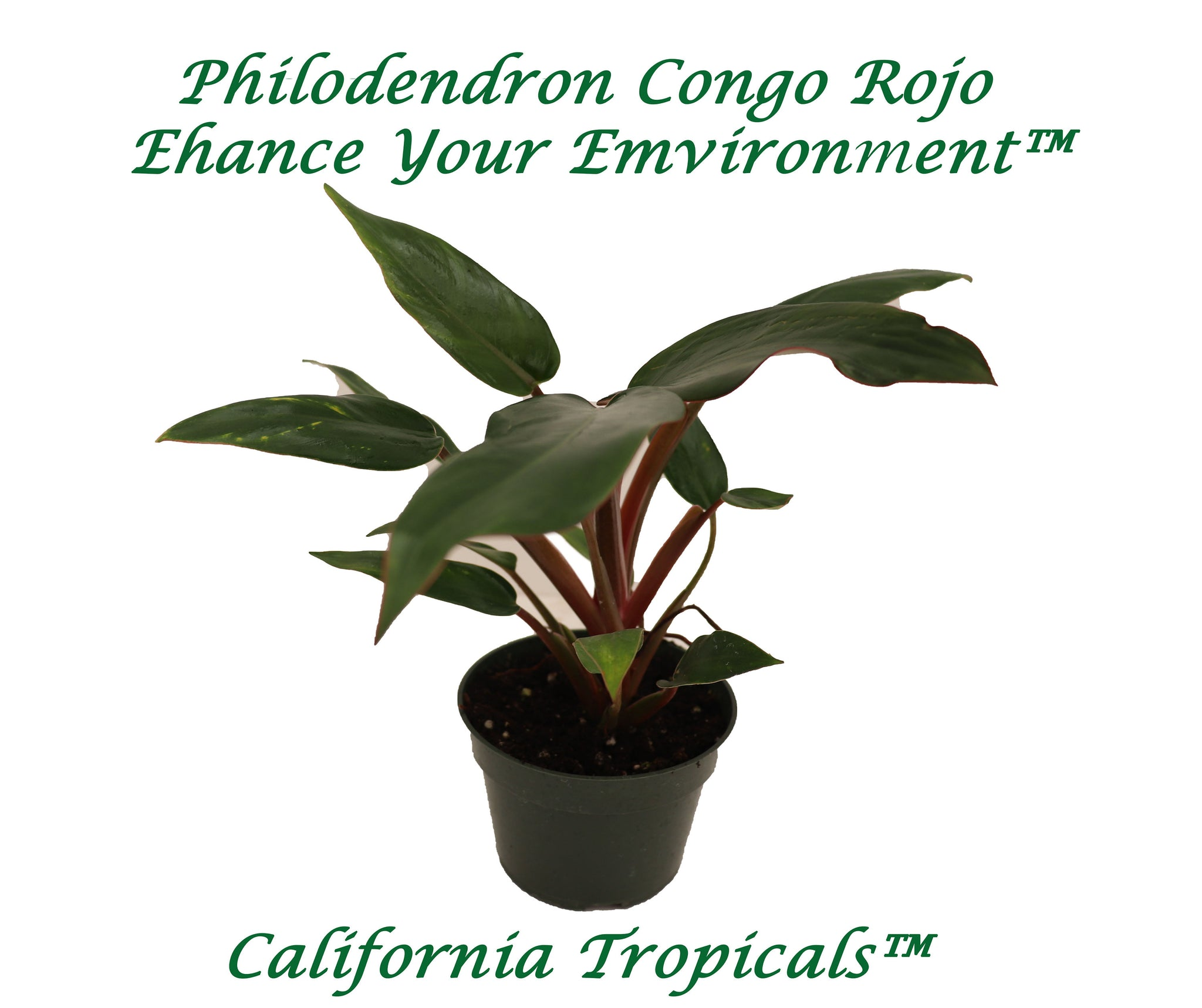 Philodendron Congo Rojo - 4'' from California Tropicals