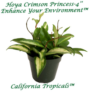 Hoya Crimson Princess - 4'' from California Tropicals