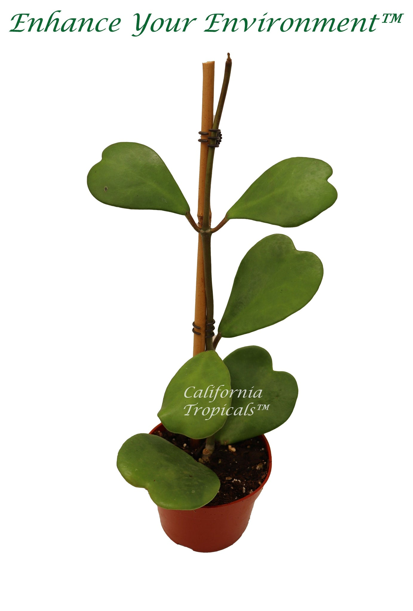 Hoya Kerrii Tall Stem  (4-6 leaves) - 4''