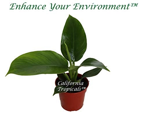 "Philodendron Imperial Green - 4"" from California Tropicals"