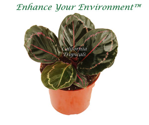 Calathea Rose Painted  Prayer Plants - 4'' from California Tropicals