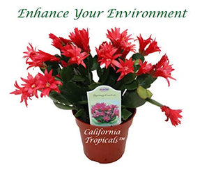 "Red Spring Cactus - 4"" from California Tropicals"