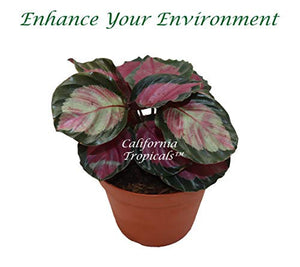 "Calathea Roseopicta - 6"" from California Tropicals"
