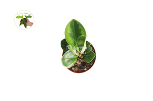 "Peperomia Lemon Lime - 3"" from California Tropicals"