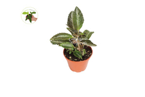 Pilea Silver Tree - 3'' from California Tropicals