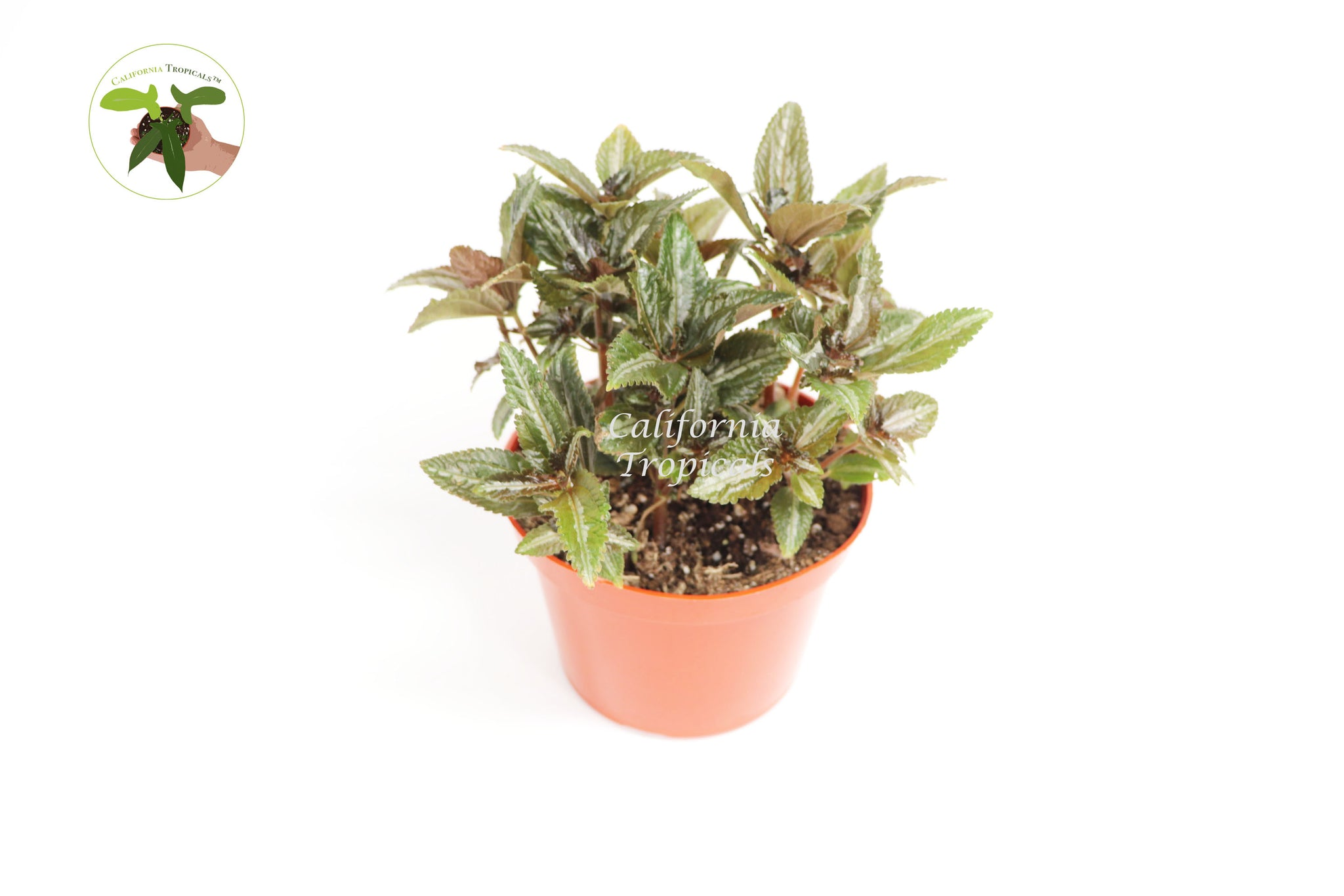 Pilea Silver Tree - 6'' from California Tropicals