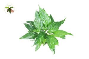 Spathyphyllium Domino - Variegated Peace Lily - 4'' from California Tropicals