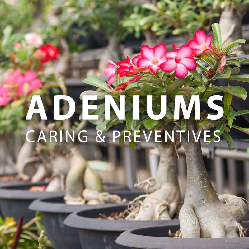 Adeniums - Caring & Preventives of the Desert Rose