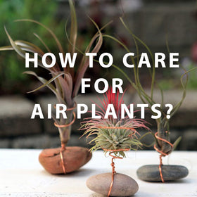 How to care for Tillandsia Air Plants?