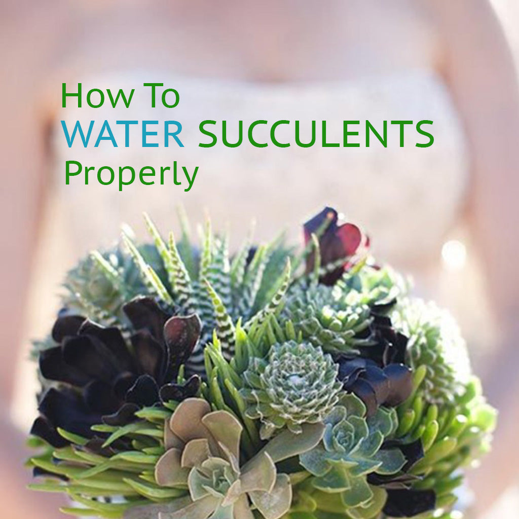 How To Water Succulents Mybageecha