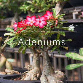 Buy Plants Online In India At Best Prices Mybageecha