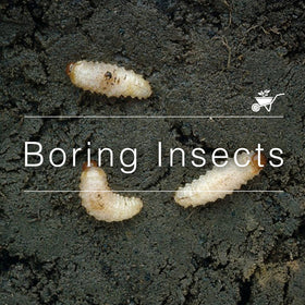 Boring Insects