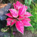 Aglaonema Red Elephant