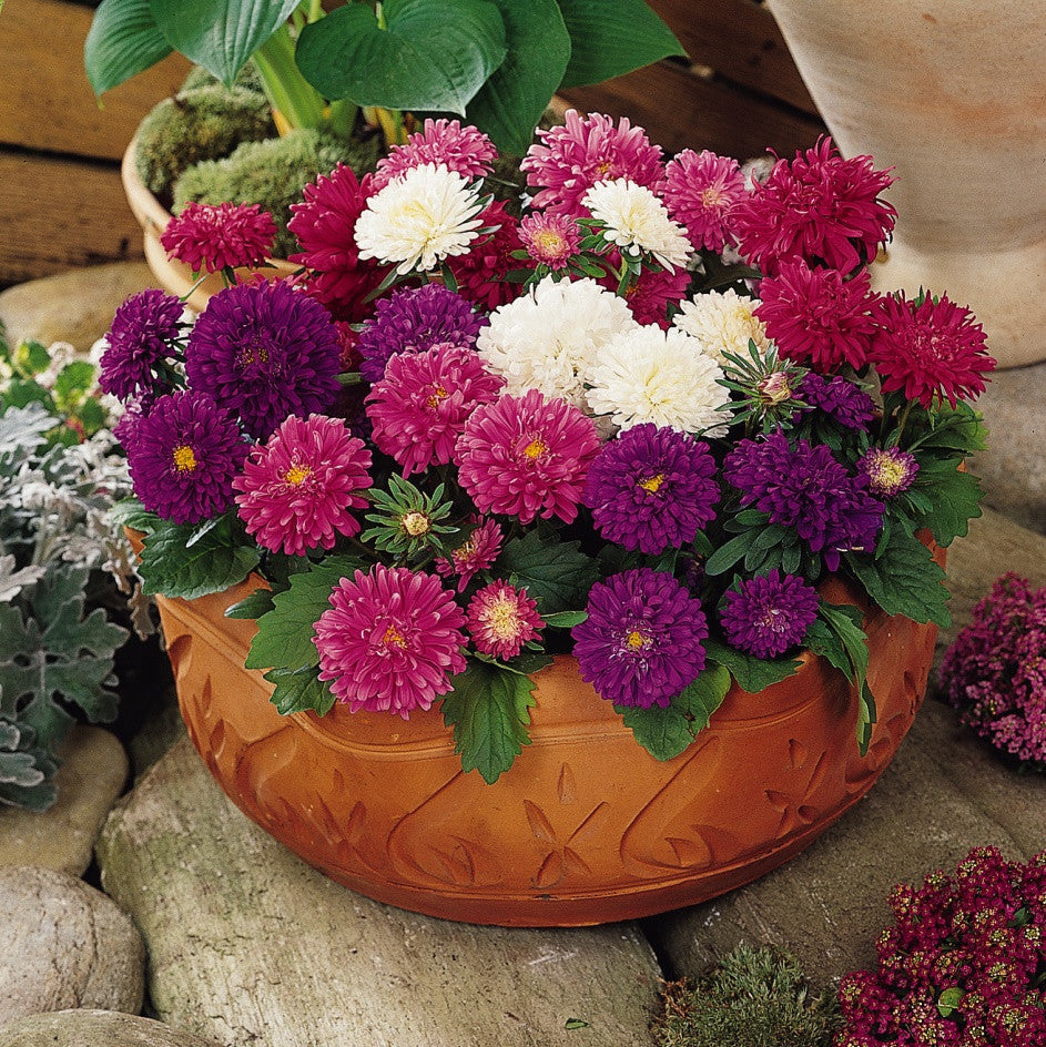 "Aster Pot ""N"" Patio Mixed Seeds myBageecha - myBageecha"