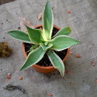 Agave Celsii 'Multicolour'