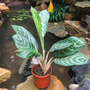 Aglaonema 'Moonlight Bay'