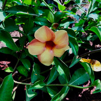 Allamanda Cathartica 'Chocolate Cream'