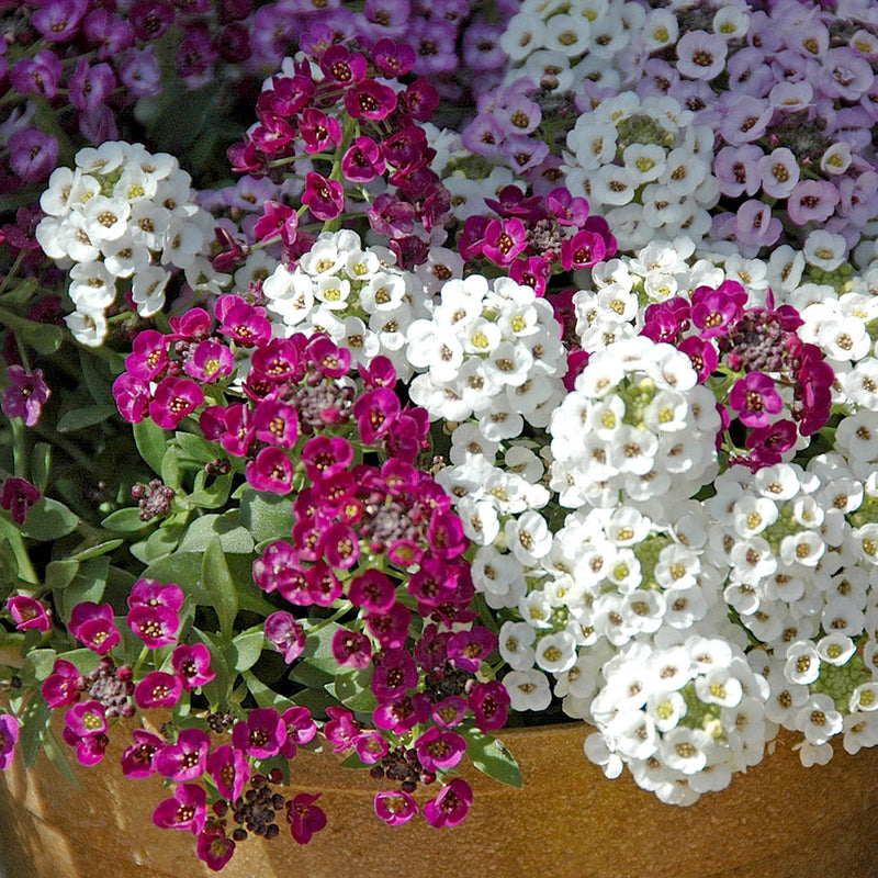 Alyssum Easter Basket Mix Seeds myBageecha - myBageecha