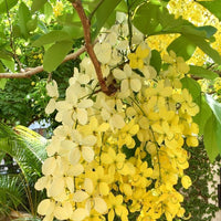 Cassia Fistula - Golden Shower