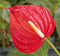 Anthurium  'Red Heart' Plants myBageecha - myBageecha