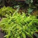 Boston Fern - Air Purifier Plants myBageecha - myBageecha