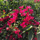 Bougainvillea 'Red Orchid'