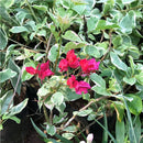 Bougainvillea 'Royal Bengal Red' Plants myBageecha - myBageecha