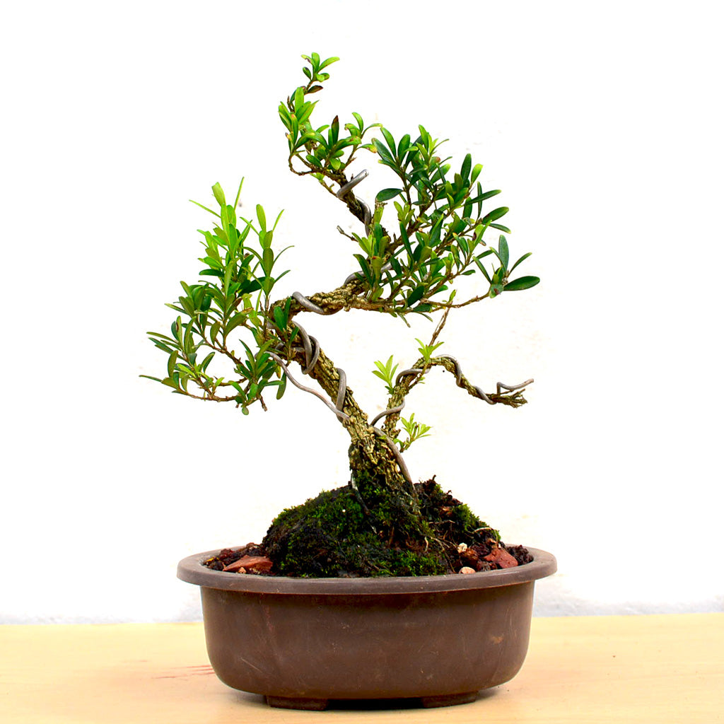 Bonsai Boxwood