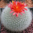 "Brasilicactus Haselbergii - ""Crested Scarlet Ball"" Cactus"