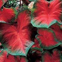 Caladium 'Freida Hemple'