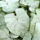 Caladium 'June Bride'
