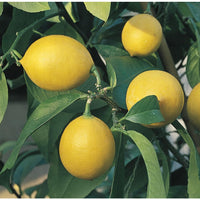 Citrus Lemon (Tissue Culture)