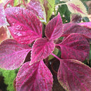 Coleus 'Trailing Bleeding Heart'