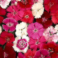 Dianthus Ideal Formula Mix Seeds myBageecha - myBageecha