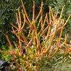 Euphorbia tirucalli 'Sticks on Fire' Plants myBageecha - myBageecha