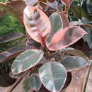 Ficus Elastica 'Red Ruby'