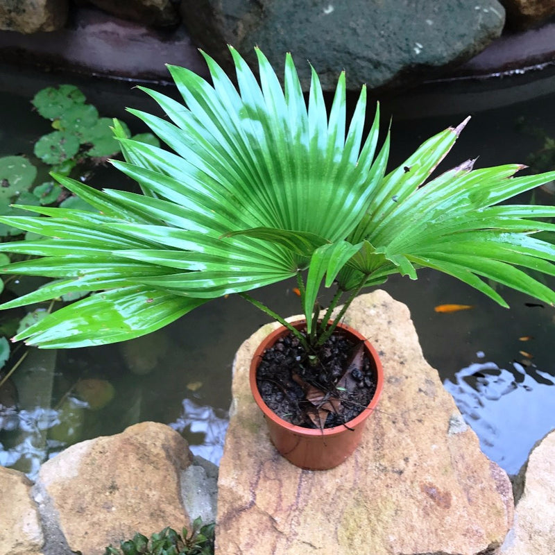Fountain palm