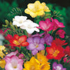 Freesia - Mix