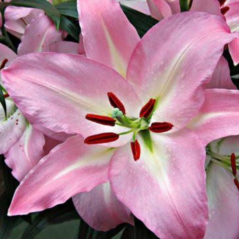 Lilium Asiatic 'Helen of Troy'