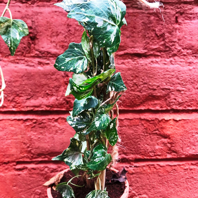 English Ivy 'Variegated'